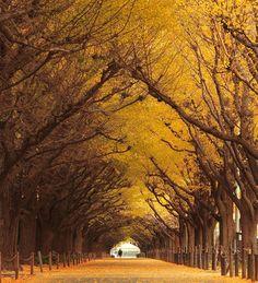 Túnel de árvores de Ginkgo, Japão                                                                                                                                                                                 Mais