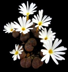 Conophytum pellicudum SH 1249 Rooifontein