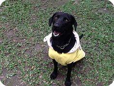S F, CA - Flat-Coated Retriever/Labrador Retriever Mix. Meet Gabriel, a dog for adoption. http://www.adoptapet.com/pet/11544172-s-f-california-flat-coated-retriever-mix