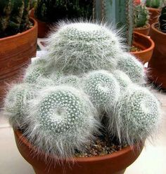 Photo: Mammillaria hahniana