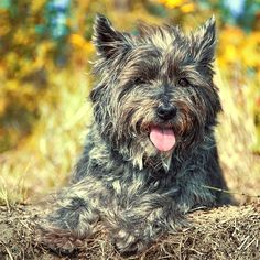 Cairn Terrier Dog Breed Information, Pictures, Characteristics & Facts - Dogtime - SH Dogs Yorkie Terrier Mix, Cairn Terrier Puppies, Terrier Dog Breeds, Bull Terrier Mix, Russell Terrier, Pitbull Terrier, Boston Terrier, Norfolk Terrier, Cairns