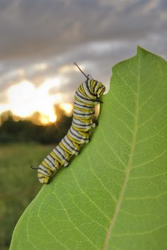 In the face of scientific dogma that faults the population decline of monarch butterflies on a lack of milkweed, herbicides and genetically modified crops, a new Cornell University study casts wider blame: sparse autumnal nectar sources, weather and habitat fragmentation.