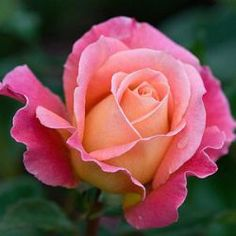audrey wilcox Sterk geurende hybride theeroos met roze rode bloemen met abrikoos oranje accenten.  Zeer gezond, ziekte resistent en lang bloeiend.