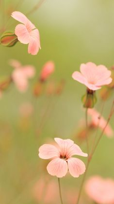 Pink flowers - Free iPhone HD wallpapers, iPhone 4 and iPhone 5 wallpapers -iPhone wallpaper
