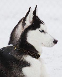 Elegance - Black  The beautiful Kimber enjoying snow! @because.fuzz  We just hit 3000 followers thank you so much!   #fyrahcollection #dog #perro #collar #dogcollar #pinscher #chihuahua #frenchie #husky #fashion #puppy #leash #ilovemydog #shop #style #dogleash #etsy #pet #handmade #love #cute #dogsofinstagram #golden #gold #pug #labrador #pomeranian #bostonterrier #doberman #etsygifts by fyrahcollection