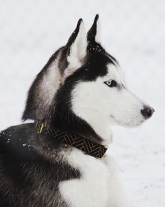 Elegance - Black  The beautiful Kimber enjoying snow! @because.fuzz  We just hit 3000 followers thank you so much!   #fyrahcollection #dog #perro #collar #dogcollar #pinscher #chihuahua #frenchie #husky #fashion #puppy #leash #ilovemydog #shop #style #dogleash #etsy #pet #handmade #love #cute #dogsofinstagram #golden #gold #pug #labrador #pomeranian #bostonterrier #doberman #etsygifts by fyrahcollection