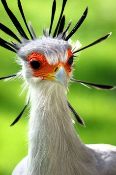 The secretary bird (Sagittarius Serpentarius) is a large bird of prey related to eagles and falcons. It is named for its black feathered crest on the head that makes it look like century secretaries with feathers and pencils attached to their wigs. Pretty Birds, Love Birds, Beautiful Birds, Animals Beautiful, Exotic Birds, Colorful Birds, Colorful Animals, Exotic Pets, Sagittarius Serpentarius
