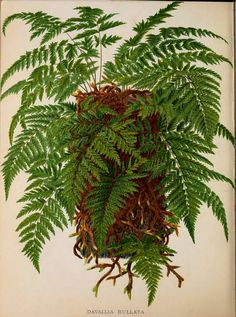 The Book of Choice Ferns for the Garden, conservatory. and stove : describing and giving explicit cultural directions for the best and most striking ferns and selaginellas in cultivation. by George Schneider,1892-1894. Smithsonian Libraries