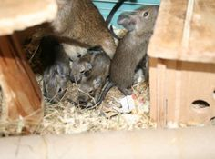 A Deluge of Degu's at the GSPCA in Guernsey | GSPCA Guernsey