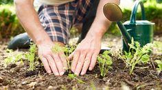 Ein Mann pflanzt junge Triebe ein (Quelle: Thinkstock by Getty-Images/monkeybusinessimages)