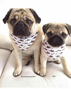 Sweet pair of pugs