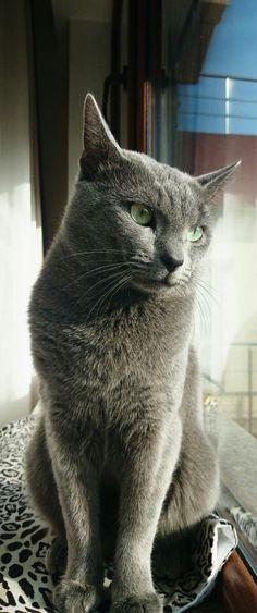 Russian Blue Cats My Russian Blue Boris Blue Cats, Grey Cats, I Love Cats, Cool Cats, Russian Blue, Cat Names, Domestic Cat, Funny Cat Pictures, Beautiful Cats