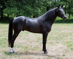 Missouri Fox Trotter stallion, The Knight Shadow. Two Horses, Horses And Dogs, Grey Horses, Horse Photos, Horse Pictures, Majestic Horse, Beautiful Horses, Missouri Foxtrotter, Tennessee Walking Horse