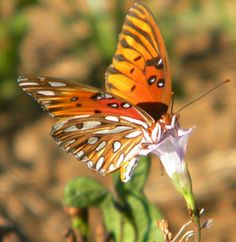 I love butterflies - this little wonder was in a cotton field one day.
