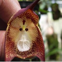 10-Kinds-Mixed-Rare-Monkey-Face-Orchid-Flower-Seeds-Dra-Cula-Simia-Dracula