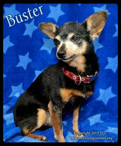 TLC; Simi Valley, CA. Chi • Adult • Male • Small. <3  Hi, my name is BUSTER & I'm a regal little dude, as handsome as I am charming! I dream of having a furever family of my very own & know that someday they will come for me! I hope it is soon because I have a lot of love to give & I am very Sweet & Mellow. Please take me home soon, family! I can't wait to belong! Love, Buster.* *** BEAUTIFUL FURBABY *** CURRENTLY IN FOSTER CARE.