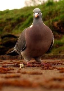 pigeon solo