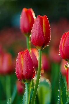 tulips garden care New Images Tulip fondos Concepts Prolonged live the tulip ! Seed this colorful pride now lets talk about a pleasant present in early sprin Red Tulips, Tulips Flowers, Flowers Nature, Pretty Flowers, Spring Flowers, Daffodils, Beautiful Flowers Garden, Exotic Flowers, Amazing Flowers