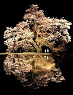Cherry tree over 800 years old ~ Achi, Nagano, Japan