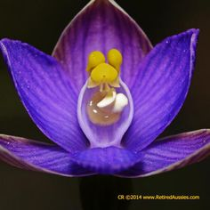 Thelymitra aristata Great Sun Orchid