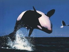 Happy World #Orca Day!!  May they all swim Happy and FREE! <3