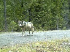 A wolf roams in the Oregon Cascades in this undated Oregon Fish & Wildlife handout photo taken with ... - REUTERS/Oregon Fish & Wildlife/Handout