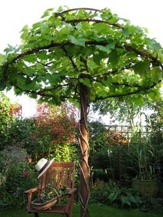 vines trained as an umbrella - neat idea for the backyard...