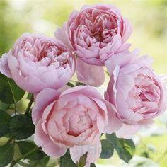 Zdjęcie The Alnwick Rose (Ausgrab)