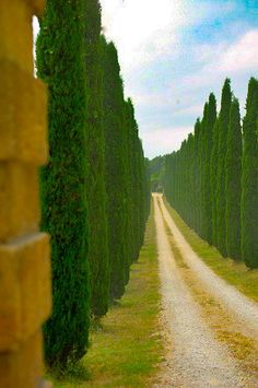 Cypress row (Provence, France) [photographer unknown]