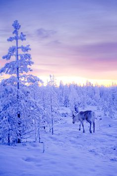 ☀The Lone Reindeer Flickr by Ilkka Hamalainen*
