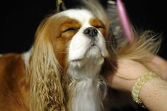 pampering at the Westminster Dog Show 2012
