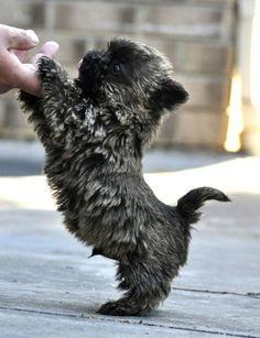 This is a Cairn Terrier. Rags the dog from the movie bright eyes was a female Cairn Terrier, who, in also portrayed Toto in The Wizard of Oz. Cairn Terrier Welpen, Cairn Terrier Puppies, Cute Puppies, Cute Dogs, Dogs And Puppies, Doggies, Dogs Pitbull, Cute Baby Animals, Funny Animals