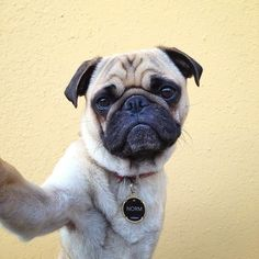 Because Norm the pug is better at taking selfies than any other pug. | 24 Reasons Norm The Pug Is The Coolest Pug You Will Ever Meet In Your Life