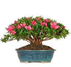 Whether you want a gift for yourself or a present for a special occasion, this bonsai tree has been a favorite for customers across the United States for years. The Azalea is famous for blooming several times throughout the year with small pink or salmon colored flowers. It is also an evergreen, which means it will keep the radiant green color in its foliage throughout the year. Discover for yourself why this beautiful bonsai is amazing in any home decor
