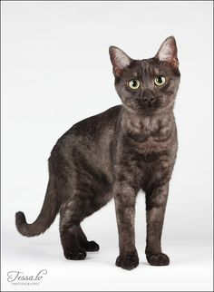 Egyptian Mau, Small Cat, All About Cats, Cat Names, Warrior Cats, Four Legged, Sea Creatures, Fur Babies, Creepy