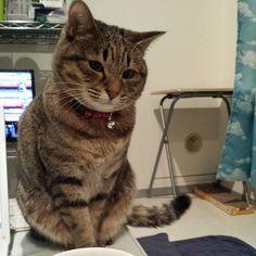 """""""マミーに怒られ、しょぼーん… #ねこ #猫 #猫写真 #ネコ #しましま軍団 #キジネコ #キジトラ #cat #catstagram #neko #kitty #tabby #고양이"""""""