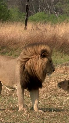 Cute Wild Animals, Cute Funny Animals, Zoo Animals, Animals And Pets, Cute Cats, Lion Images, Lion Pictures, Daily Pictures, Beautiful Lion