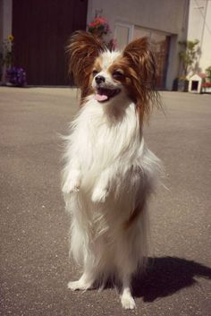 Dog - Papillon - Zack on www.yummypets.com
