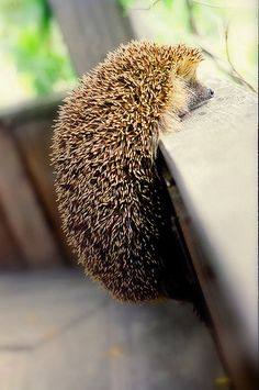 Now and then a little hedgehog will do something dramatic to get your attention, so that you will consider:  Do you know your song?  Really know it?