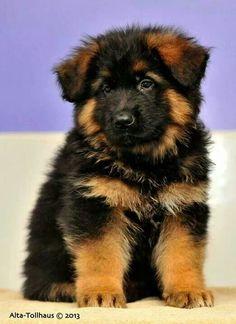 German #shepherd #puppy