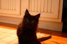 #mainecooncat Maine Coon Cat