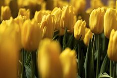 Yellow tulips under the castle. by Peter Volek Yellow Tulips, Flora, Castle, Plants, Plant, Planting, Castles, Planets