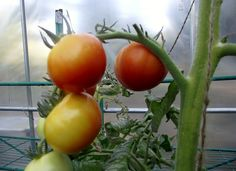 Chalk's Early Jewel heirloom tomato at The Nitty Gritty Potager