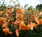 'Orange Valley' - Asiatic Hybrid Lily Bulb b and d lilies