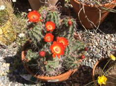Claretcup Hedgehog cactus - Echinocereus triglochidiatus