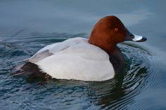 Common Pochard... | Flickr - Photo Sharing!