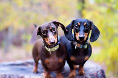 Olive (chocolate and tan) and Cooper (black and tan) - photo via I love Dachshunds on fb