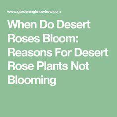 When Do Desert Roses Bloom: Reasons For Desert Rose Plants Not Blooming Desert Rose Plant, Deserts, Roses, Bloom, Plants, Pink, Rose, Postres, Plant
