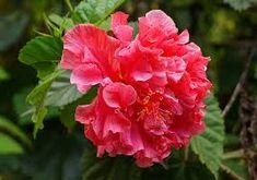 Resultado de imagem para hibiscus