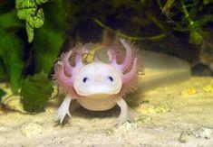 Ambystoma mexicanum: Mit den Kiemenbüscheln, die ihm wie Haare vom Kopf abstehen, und seinem scheinbar lächelnden Maul wirkt der Axolotl sympathisch.